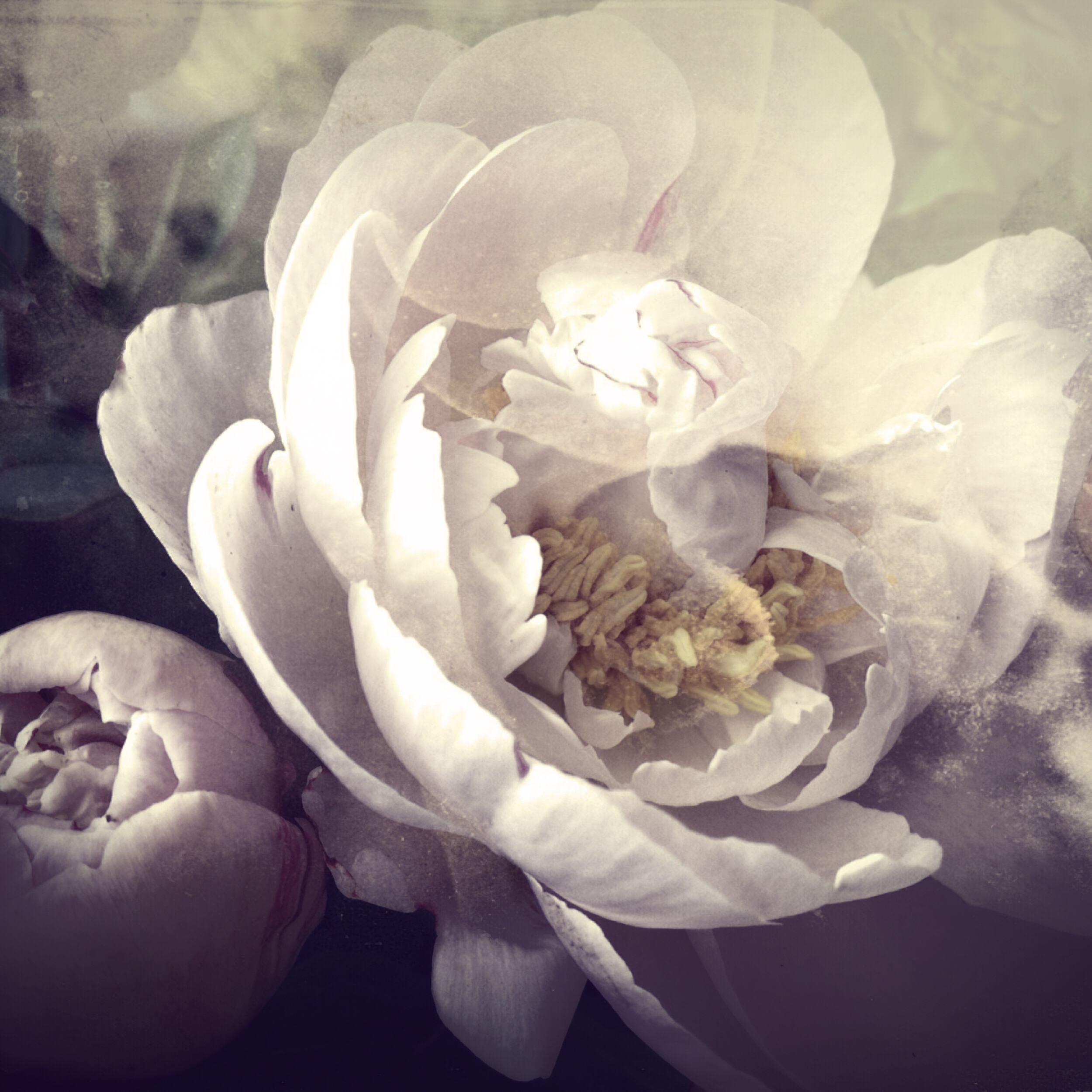 Close-up photograph of a very pale pink peony flower and a bud with a soft focus background and vintage, retro-styled effects.